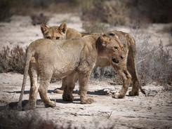 Lion cubs, Etosha