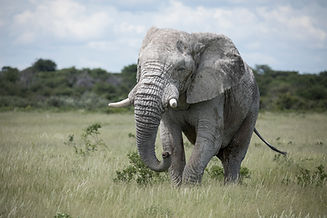 Ghost Elephant, Etosha