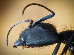 Carpenter Ant, Amazon Rainforest Macro Photography Workshop/Tour
