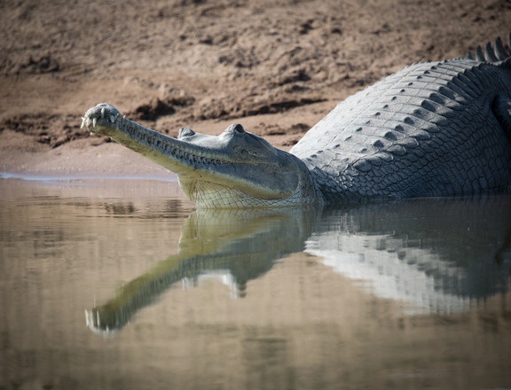 Gharial, Chambal River,outside of Ranthambore National Park, India