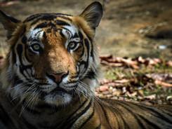 Bengal Tiger Portrait, Tiger Photography Workshop/Safari
