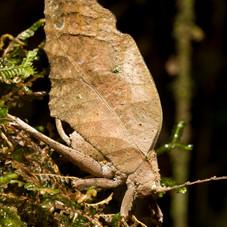 Brown Leaf Mimic Katydid, Tambopata, Peru