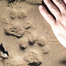 Jaguar footprints found on trail during an Untamed Photography photo shoot.