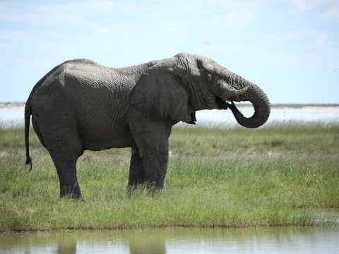 Drinking Elephant, African Wildlife Photography Workshop/Safari, Chobe, Botswana