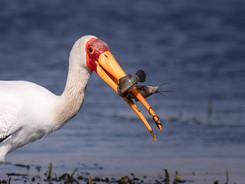 Yellow Billed Stork, Exclusive Charter Houseboat, Chobe River, Botswana