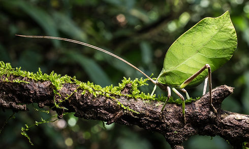 Leaf Mimic Katydid on the Move