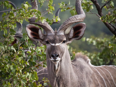 The kudu, African Wildlife Photography Workshop/Safari, Chobe, Botswana