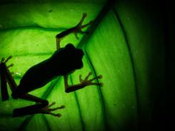 Barred Monkey Frog, Amazon Rainforest Macro Photography Workshop/Tour