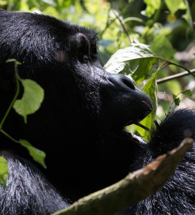 Mountain Gorilla male