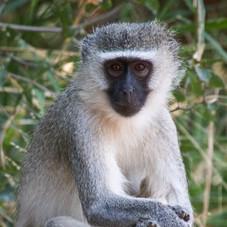 The Vervet monkey (Chlorocebus pygerythr)