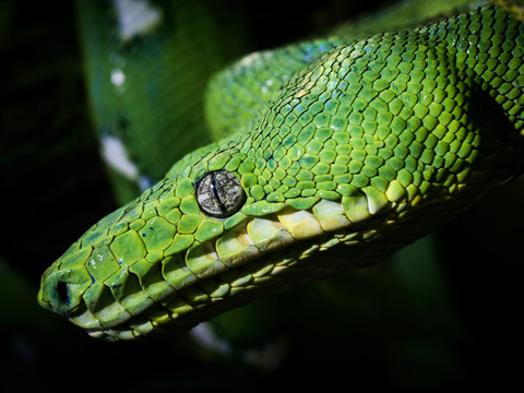 Emerald Tree Boa, Taylor Made Private Photography Tour