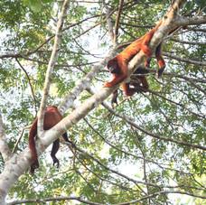 Red Howler Monkeys (Alouatta seniculus)