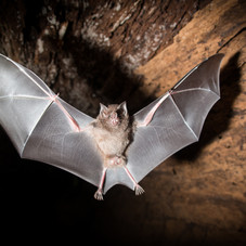Bat In Flight (Trachops cirrhosus)