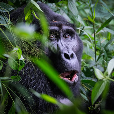 Mountain Gorilla in hiding, Bwindi Impenetrable National Park, Uganda