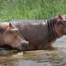 hippos of Queen Elizabeth National Park, Uganda