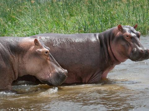 Hippos, Uganda Wildlife Photography Workshop/Safari