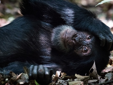 Chimp of Kibale, Uganda Wildlife Photography Workshop/Safari