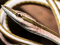 Green Striped Vine Snake, Amazon Rainforest Photography Workshop/Tour