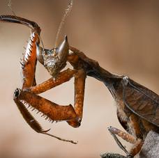 Art of the Praying Mantis, Tambopata, Pe
