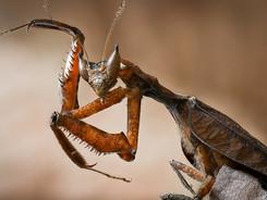 Dead Leaf Mantis, Amazon Rainforest Macro Photography Workshop/Tour