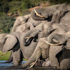 The Great African elephants of Botswana