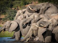 African Elephants, Exclusive Charter Houseboat, Chobe River, Botswana