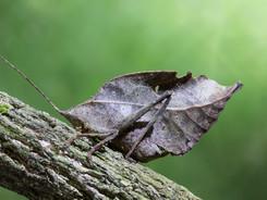 Leaf Mimic Katydid, Amazon Rainforest Photography Workshop/Tour