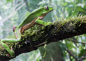 Giant Waxy Monkey Tree Frog (Phyllomedus