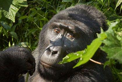 bwindi gorilla.jpg