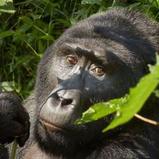 Mountain Gorilla Portrait, Buindi National Park, Uganda