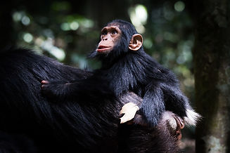 Baby Chimp and mother, Kibale