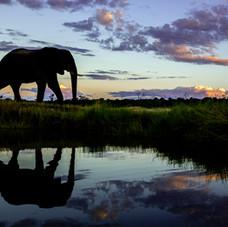 African Elephant during sundown, Botswana