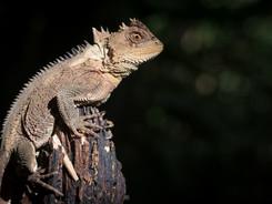 Horned Wood Lizard, Amazon Rainforest Photography Workshop/Tour