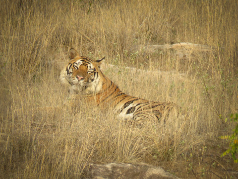 Bengal Tiger, Indian Wildlife Photography Workshop/Safari