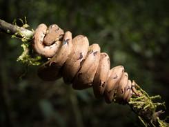 Juvenile Amazon Tree Boa, Amazon Rainforest Photography Workshop/Tour