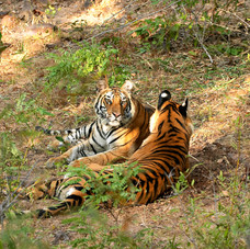 Bengal Tiger cubs sitting calmly during one of photo shoots, Bandhavgarh, India