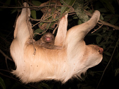Hoffmans two-toed Sloth, Taylor Made Private Photography Tour