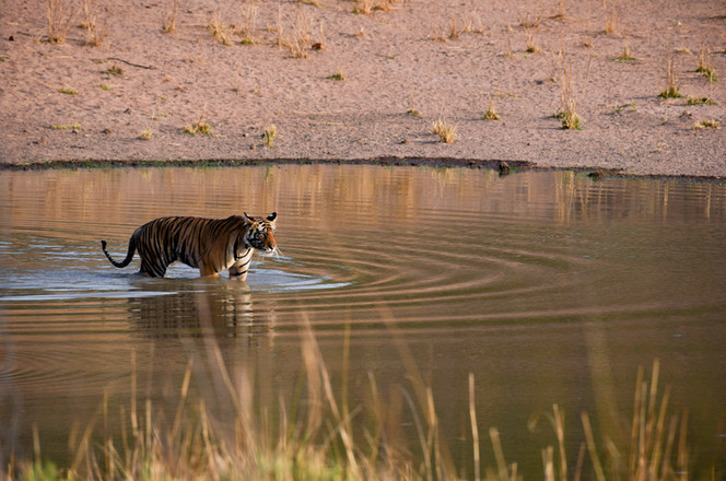 Eraly morning photography shoot of the Bengal Tiger, Bandhavgarh, India
