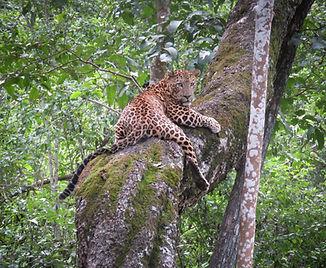 Indian Leopard crop