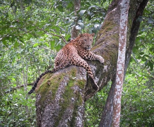 Indian Leopard,Ranthambore National Park, India
