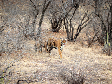 Bengal Tiger & Cubs, Indian Wildlife Photography Workshop/Safari