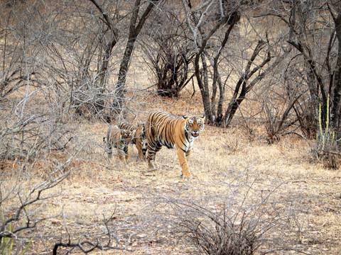 Bengal Tiger & Cubs, Indian Wildlife Photography Workshop/Safari