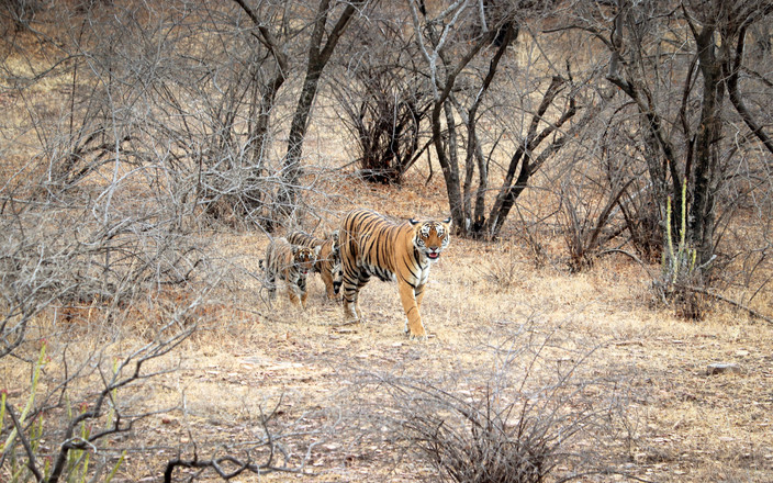 Wild Bengal Tiger and cubs, Ranthambore National Park, India