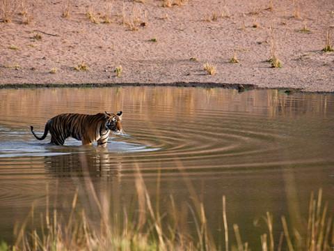 Bengal Tiger at Waterhole, Tiger Photography Workshop/Safari