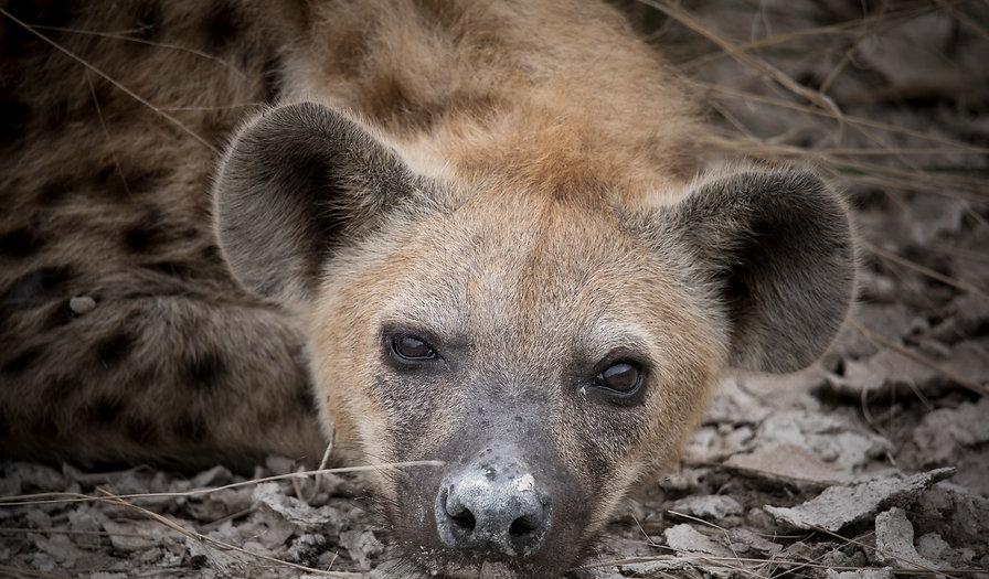 Spotted Hyena Portrait_edited_edited.jpg