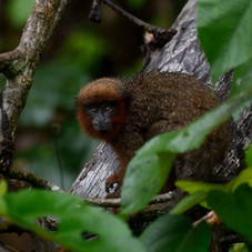 Titi Monkey (Plecturocebus aureipalatii)