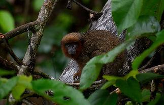 Titi Monkey (Plecturocebus aureipalatii