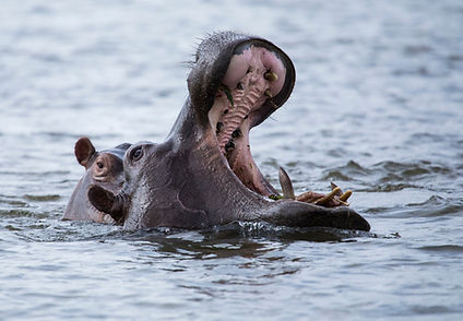 Hippopotamus_edited.jpg