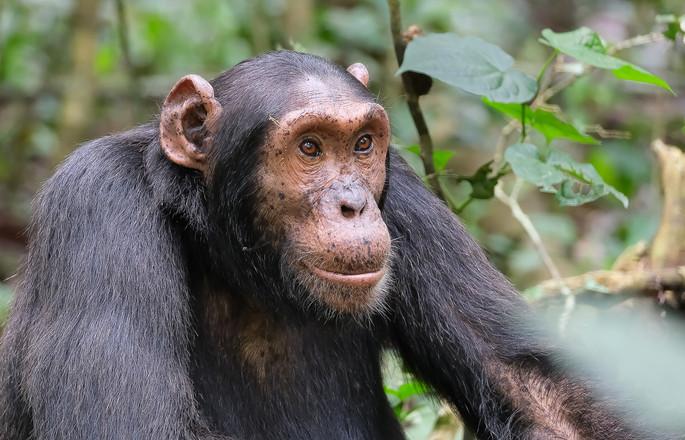 chimpanzee, Kibale