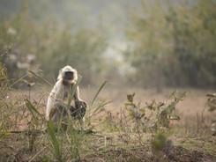 Northern Plains Grey Langur, Indian Wildlife Photography Workshop/Safari